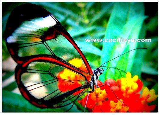 ceciliayu com wings