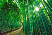 Amazing Bamboo Forest in Kyoto, Japan