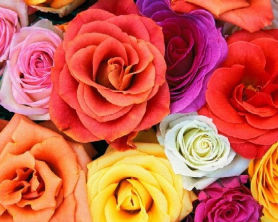 roses_many_colors1