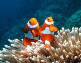 Clown-Anemonefish-Great-Barrier-Reef (c) toursincairns (dot) com (dot) au
